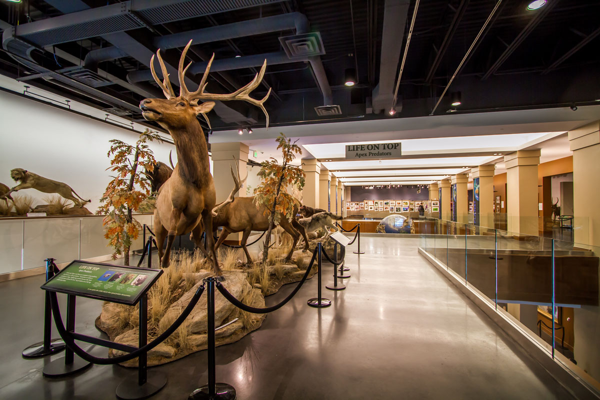Finished upper level of the museum with an antelope exhibit.